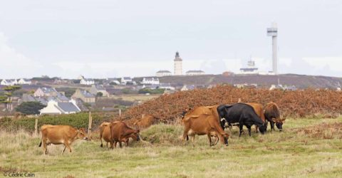 Arrivé du troupeau de vaches à Ouessan - photo : Cédric Caïn