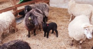 Naissance chez les moutons de Menez Meur © Perrine Veguer