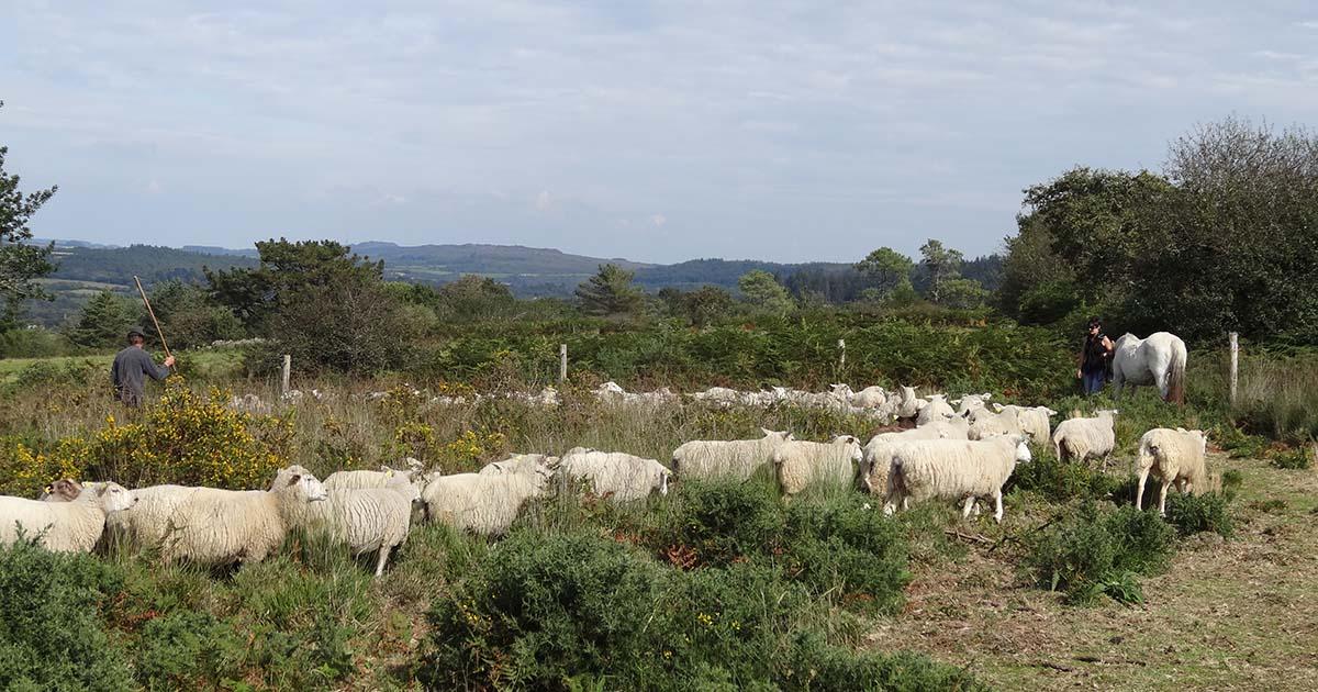 Pâturage des landes par les moutons © Thibaut Thierry